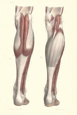 Musculature of the Lower Leg