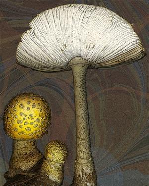 Mushroom yellow marbled Amanita