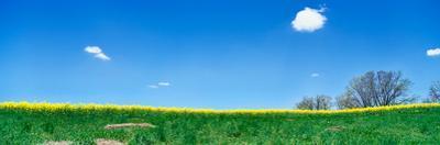 Mustard field and blue sky, DeWitt County, Illinois, USA