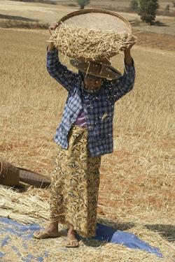 Myanmar Wheat Harvest