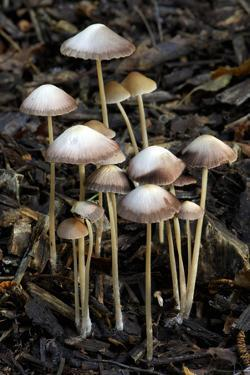 Mycena Group Found Growing Out of Buried Twigs