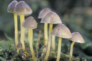 Mycena Mushroom