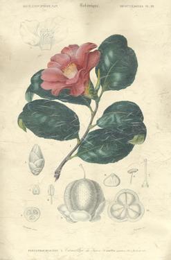 Floral Botanique II by N.Charles D'Orbigny