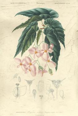 Floral Botanique III by N.Charles D'Orbigny