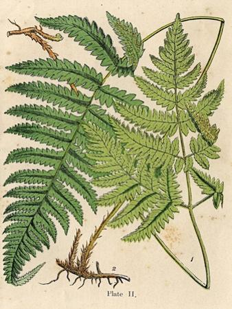 Botanical Ferns I