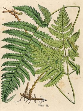 Botanical Ferns I by N. Harbick