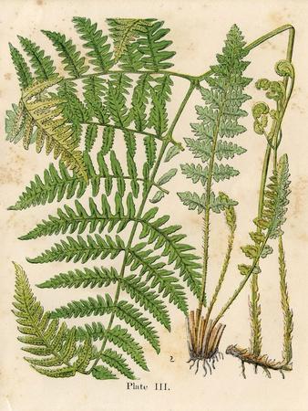 Botanical Ferns II