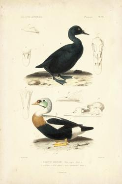 Antique Duck Study I by N^ Remond