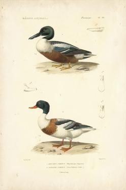 Antique Duck Study II by N^ Remond