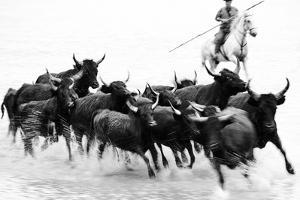 Black Bulls of Camargue and their Herder Running Through the Water, Camargue, France by Nadia Isakova