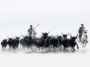 Black Bulls of Camargue and their Herders Running Through the Water, Camargue, France by Nadia Isakova