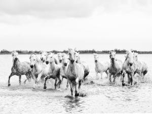 Camargue White Horses Galloping Through Water, Camargue, France by Nadia Isakova