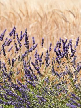 Lavender and Wheat, Provence, France by Nadia Isakova