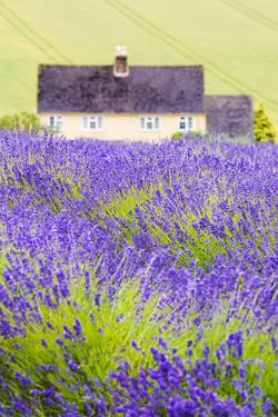 Lavender Fields, Cotswolds, Worcestershire, England, UK by Nadia Isakova