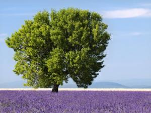 Tree in a Lavender Field, Valensole Plateau, Provence, France by Nadia Isakova