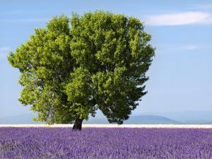 Tree in a Lavender Field, Valensole Plateau, Provence, France by Nadia Isakova