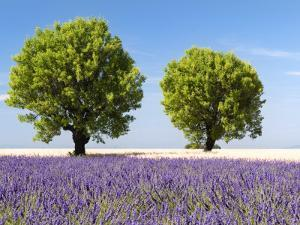 Two Trees in a Lavender Field, Provence, France by Nadia Isakova