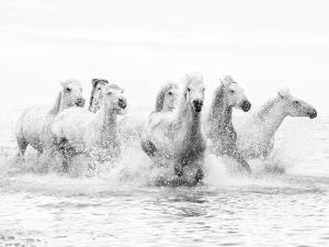 White Horses of Camargue Running Through the Water, Camargue, France by Nadia Isakova