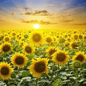 Summer Landscape: Beauty Sunset over Sunflowers Field by nadiya_sergey