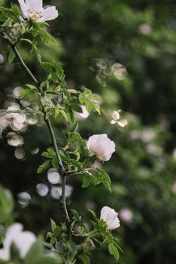 A blossoming dog rose in June in the summer sun, by Nadja Jacke