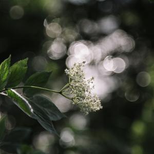 Blossoming elder in the summer sun, by Nadja Jacke