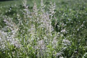 Blossoming grass on the wayside in the summer sun, by Nadja Jacke