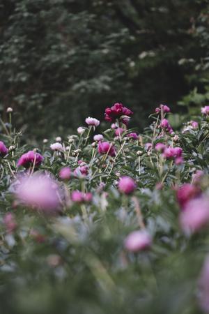 Blossoming peonies in the garden in June,