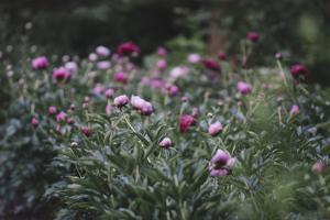 Blossoming peonies in the garden in June, by Nadja Jacke