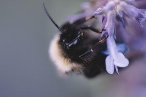 Bumblebees and bees at the work, by Nadja Jacke