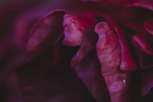 common peony, petals, close up by Nadja Jacke