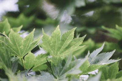 Japanese maple in the botanical garden in Bielefeld in summer,