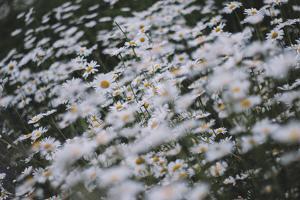 marguerites, flower meadow, close-up, by Nadja Jacke