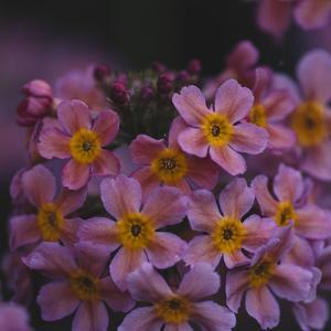Primula x Bullesiana, a kind of primrose in the botanical garden, by Nadja Jacke
