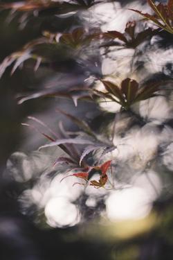 Red Japanese maple in the botanical garden in Bielefeld in June, by Nadja Jacke