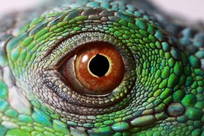 Iguana Eye