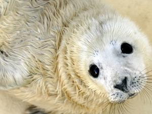 Nahia, a Five-Day-Old Grey Baby Seal, is Seen at the Biarritz Sea Museum