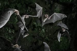 Naked-Backed (Moustached) Bats (Pteronotus Davyi) Emerging at Dusk, Tamana, Trinidad, West Indies