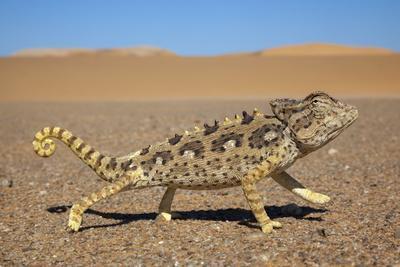 https://imgc.allpostersimages.com/img/posters/namaqua-chameleon-chamaeleo-namaquensis-namib-desert-namibia-april_u-L-Q13ABBV0.jpg?artPerspective=n
