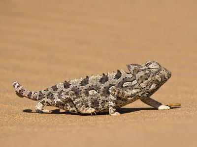 https://imgc.allpostersimages.com/img/posters/namaqua-chameleon-chamaeleo-namaquensis-walks-on-reddish-sand-dune-namib-desert-namibia-africa_u-L-PFNVP50.jpg?p=0