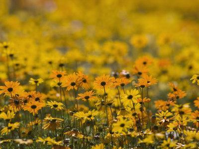 https://imgc.allpostersimages.com/img/posters/namaqualand-daisy-western-cape-south-africa-africa_u-L-P7VMFG0.jpg?p=0