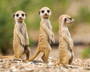 Nambia - Meerkat Pups