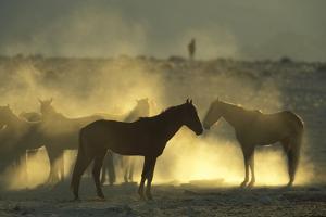 Namib Desert Horse Feral Descendants of Horses