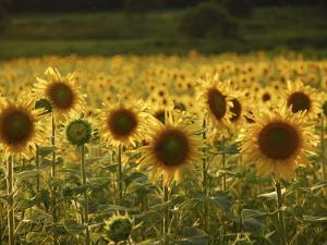 Beautiful Sunflower Field, Cape Elizabeth,Maine by Nance Trueworthy