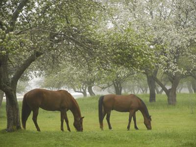 Two Horses Eating in Spring Pasture, Cape Elizabeth, Maine