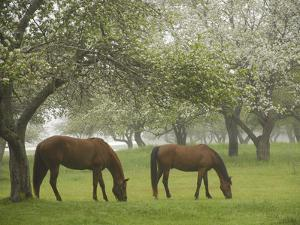 Two Horses Eating in Spring Pasture, Cape Elizabeth, Maine by Nance Trueworthy