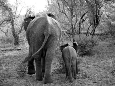 Elephant calf and mother in South Africa by Nancy Andreotta