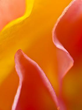 Abstract Detail of Flower Petals by Nancy Rotenberg