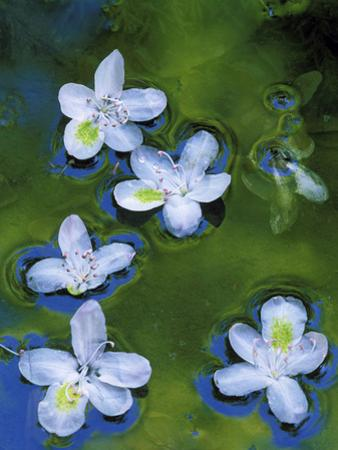 Azalea Blossoms Floating in Stream with Reflections, Maryland, USA by Nancy Rotenberg