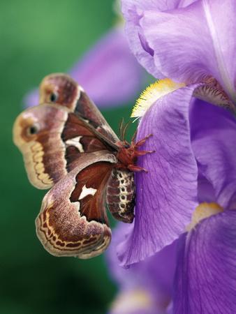 Cecropia Moth on Iris in Garden