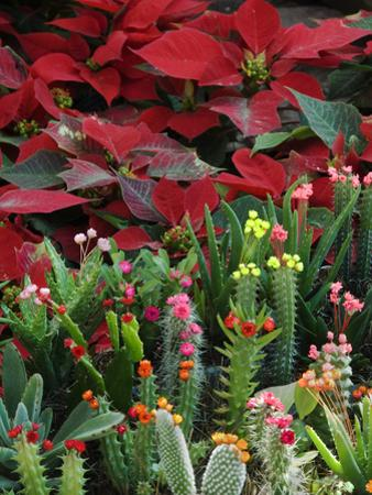 Christmas Poinsettias with Flowering Cactus in Market, San Miguel De Allende, Mexico by Nancy Rotenberg